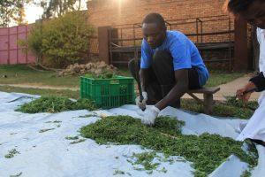 artemisia plante paludisme vélo afrique rwanda